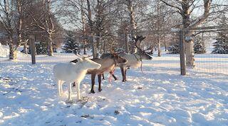 hotel reindeers new year eve kuusamo original sokos hotel kuusamo