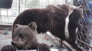 juuso bear bear cubs kuusamo finland