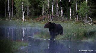 Karhu, karhun katselu, valokuvaus, luontokuvaus, kuvaus, elämys