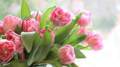 https://laari.sok.fi/documents/625002/4086241/tulips-4026273_960_720.jpg/62b4bb25-f23a-4ba6-bded-3668202df5e3?t=1553857813203